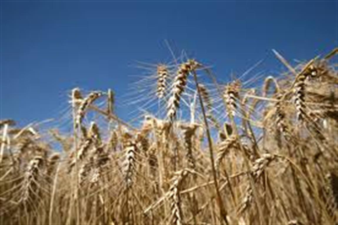 Las exportaciones de harina de trigo crecieron 55,9 por ciento