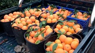 Por primera vez en ocho años se exportaron naranjas a Brasil